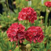 Ballerina Red Thrift Seeds