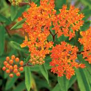 Butterfly Weed Seeds (P)Pkt of 50 seeds Alternate Image 1