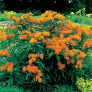 Butterfly Weed Seeds (P)Pkt of 50 seeds Alternate Image 2