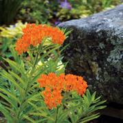 Butterfly Weed Seeds (P) Pkt of 50 seeds image