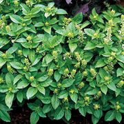 Marseille Basil Seeds image