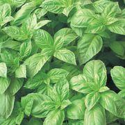 Nufar Hybrid Basil Seeds image