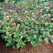 Cinnamon Basil Seeds image