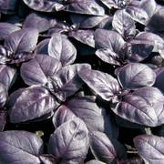 Crimson King Basil Seeds
