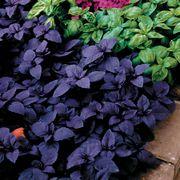 Red Rubin Basil Seeds image
