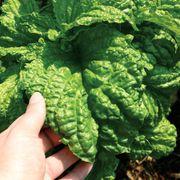 Lettuce Leaf Basil Seeds image