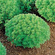 Minette Basil Seeds