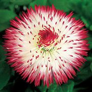 Habanera® Red Tips English Daisy Seeds image