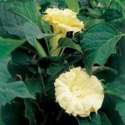 Ballerina Yellow Angels Trumpet Seeds