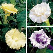 Ballerina Mix Angels Trumpet Seeds