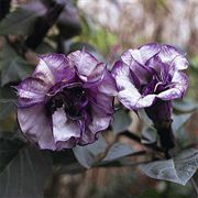 Blackcurrant Swirl™ Angel's Trumpet Seeds image