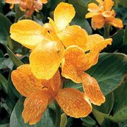 Tropical Yellow Canna Flower Seeds