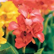 Tropical Salmon Canna Flower Seeds