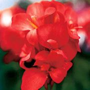 Tropical Red Canna Flower Seeds