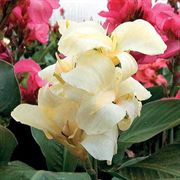 Tropical White Canna Flower Seeds