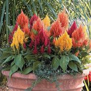 Fresh Look Mix Celosia Seeds