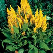Fresh Look Yellow Celosia Seeds image