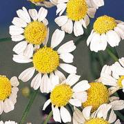 German Chamomile Seeds image