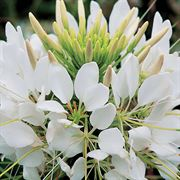 Spider flower sparkler white spider flower seeds mightylinksfo