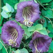 Royal Plum Cathedral Bells Vine Seeds