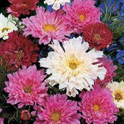 Double Click Mix Cosmos Flower Seeds image