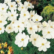 Sonata White Cosmos Flower Seeds image