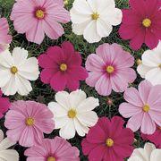 Sonata Mix Cosmos Flower Seeds Alternate Image 1
