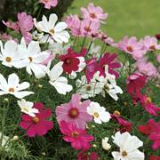 Sonata Mix Cosmos Flower Seeds image