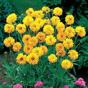 Early Sunrise Coreopsis Seeds image