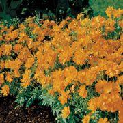 Cosmic Orange Cosmos Flower Seeds Alternate Image 1