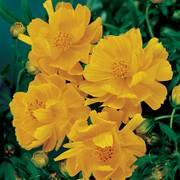 Cosmic Yellow Cosmos Flower Seeds Alternate Image 1