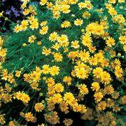 Dahlberg Daisy Seeds