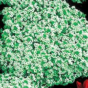 Snow Crystals Sweet Alyssum Flower Seeds