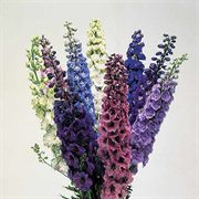 Centurion Mix Delphinium Seeds