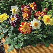 Harlequin Mix Dahlia Seeds image