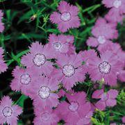 'Siberian Blues' Dianthus Seeds Alternate Image 1