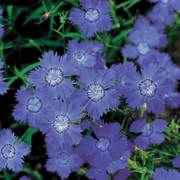 Siberian Blues Dianthus Seeds image