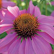 PowWow® Wild Berry Coneflower Seeds Alternate Image 1