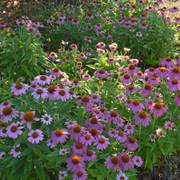 PowWow® Wild Berry Coneflower Seeds Alternate Image 3