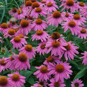 PowWow® Wild Berry Coneflower Seeds Alternate Image 4