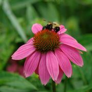 PowWow® Wild Berry Coneflower Seeds Alternate Image 5