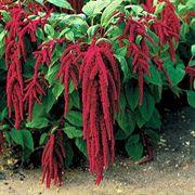 Red Amaranthus caudatus Seeds