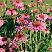 Primadonna® Deep Rose Echinacea Flower Seeds