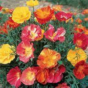 Thai Silk Mix California Poppy Seeds