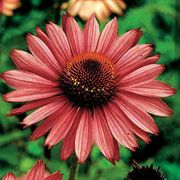 Magnus Coneflower Seeds