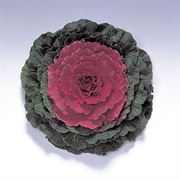 Color Up Red Hybrid Ornamental Cabbage Seeds image