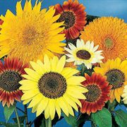 Van Gogh Mix Sunflower Seeds image