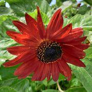 Velvet Queen Sunflower Seeds Alternate Image 1