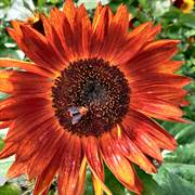 Velvet Queen Sunflower Seeds image