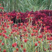 'Strawberry Fields' Gomphrena Seeds Alternate Image 1